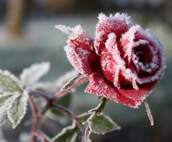 追尋玫瑰的幽暗芳香